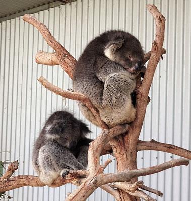 Die Koalas im....