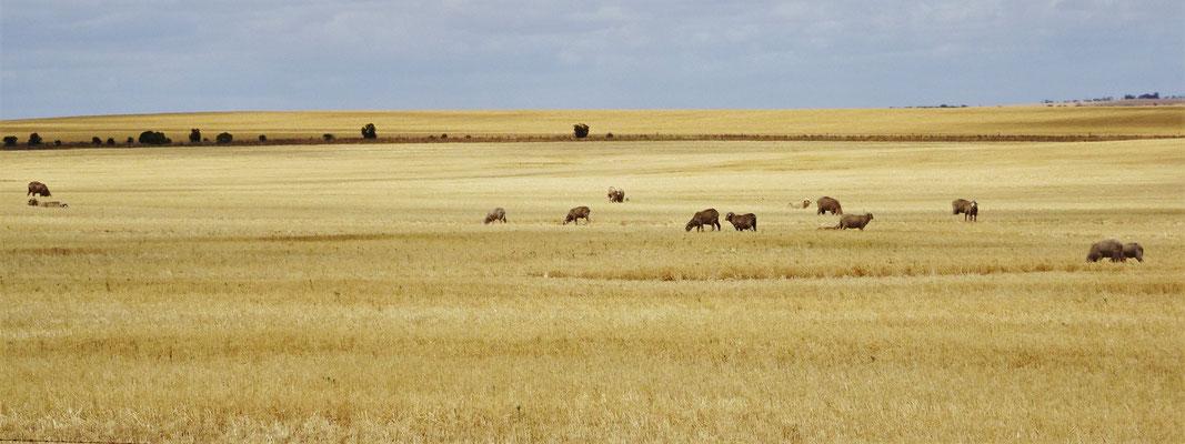 Einige Schafe auf den geschnittenen Feldern.