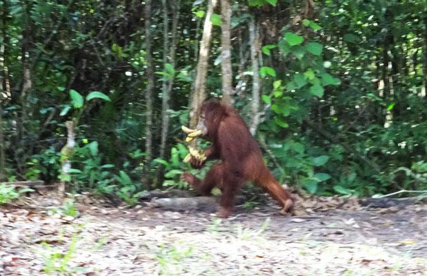 Er hat einige Bananen geklaut...
