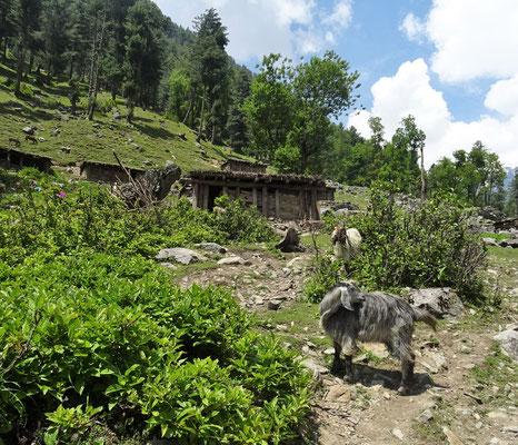Die Kashmirziege