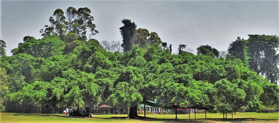 Der Java Fig Baum der 2'500m2 bedeckt.