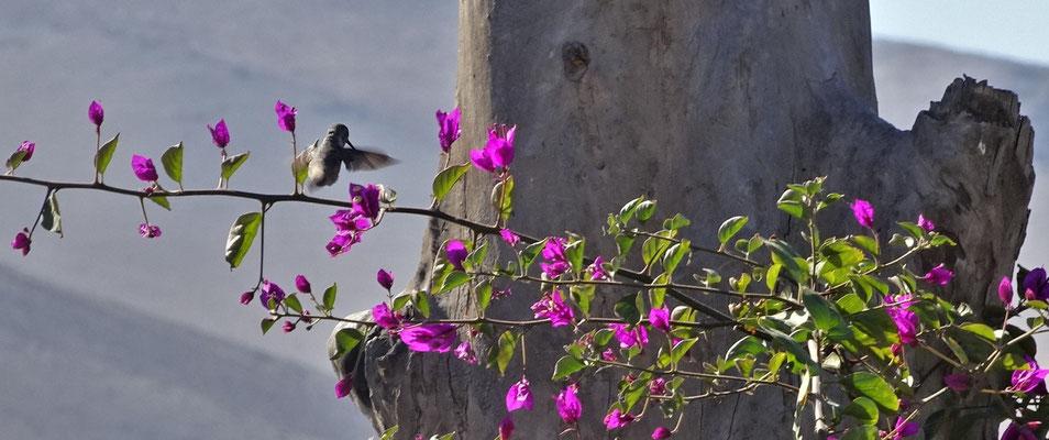 Viele Kolibris sahen wir.....