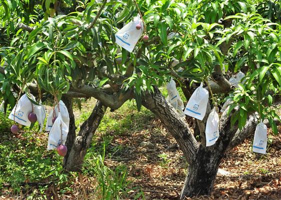 .....mit den geschützten Früchten.