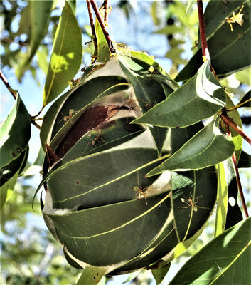 Ein Weber-Ameisen-Nest im Baum....