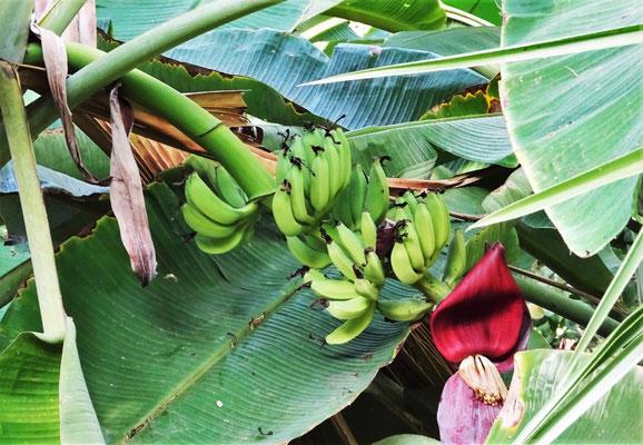 Die Bananenblüte
