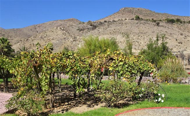 Für den Pisco werden nur Moscatell Trauben verwendet.