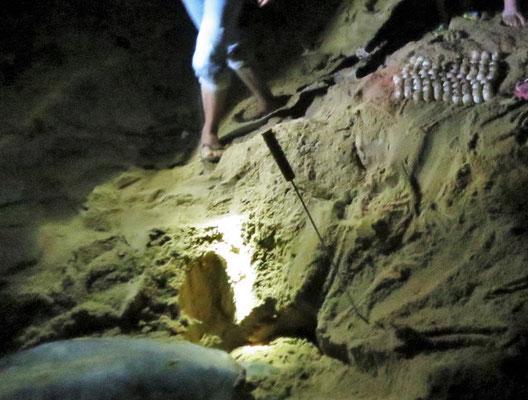 ....Meeresschildkröte...(rechts oben 83 Eier)