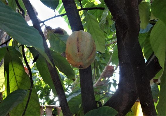 Kakao Baum.