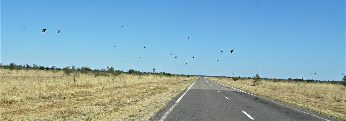 Viele Adler bei einem überfahrenen Kängi.