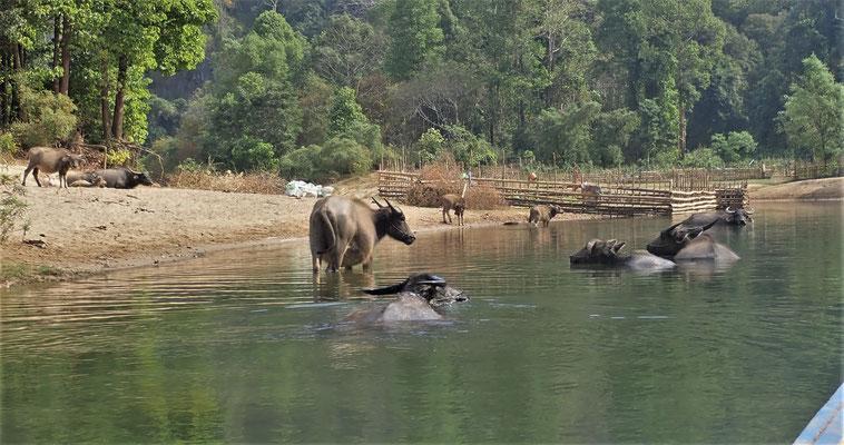 Wasserbüffel die genüsslich......