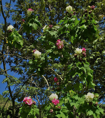 2 farbige Blüten am selben Baum.