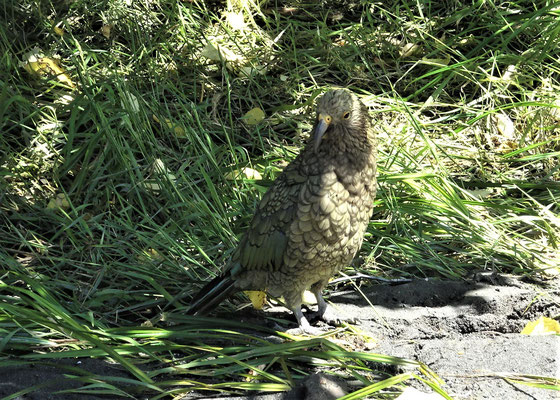 Der zutrauliche Kea (Bergpapagei)....
