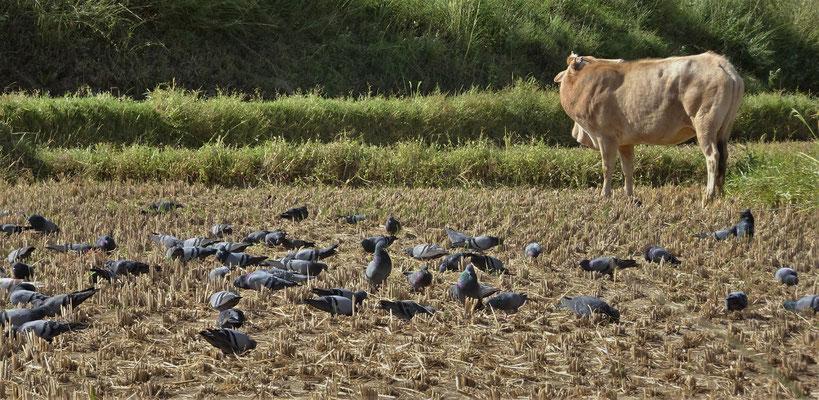 Die Tauben die sich danach über das Reisfeld stürtzen.
