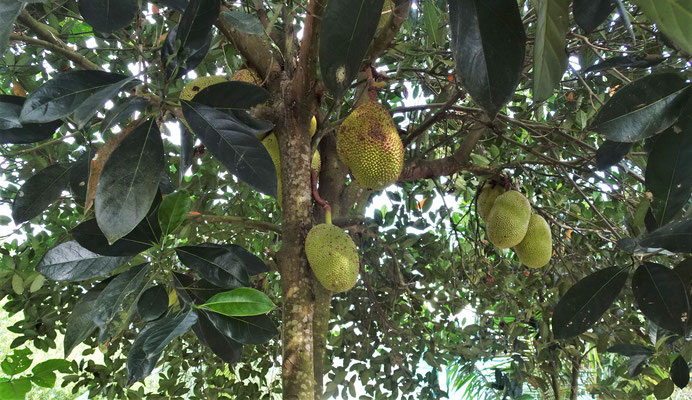 Die Jack Fruit.