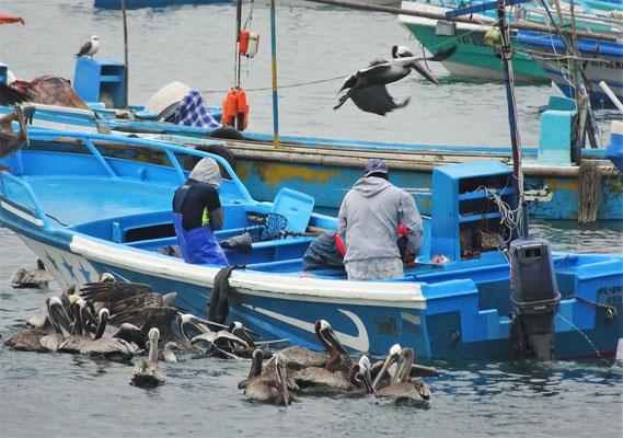 .....die Pelikane warten auf einen Happen.