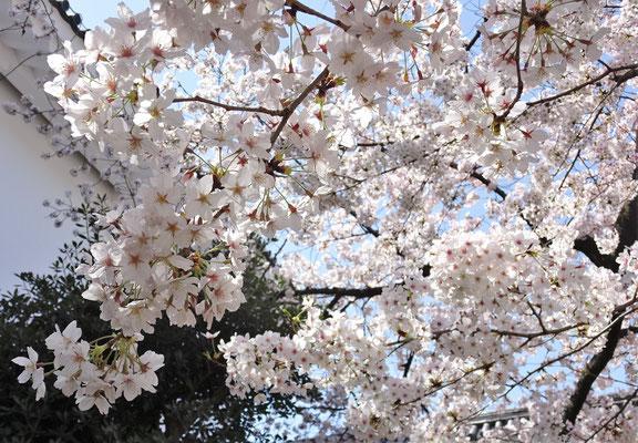 .....Kirschbäumen.