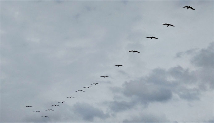 ....der Pelikane.