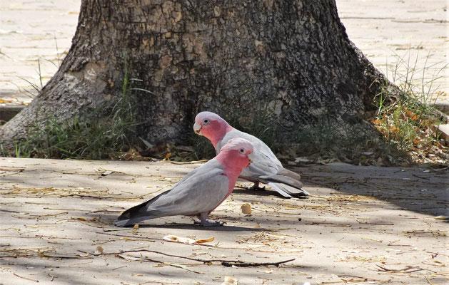 Der Galah Papagei.