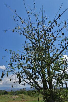 Der Baumwollbaum wächst hier wild.