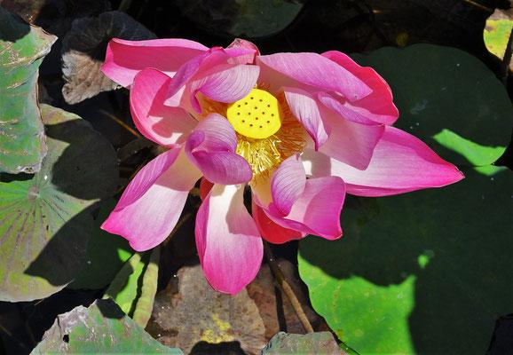 ......den Lotusblumen.