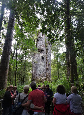 ....der 2. grösste Kauri Baum.