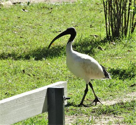 Unser Nachbar, der Ibis, in Nambucca.,,,,,