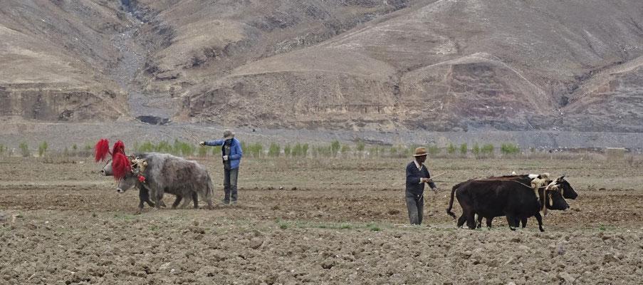 Feldarbeit mit Yaks und Rinder..