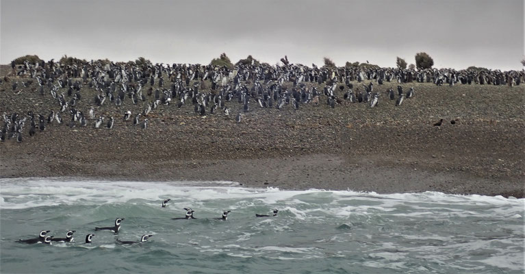 Eine Magelan Pinguin Kolonie.