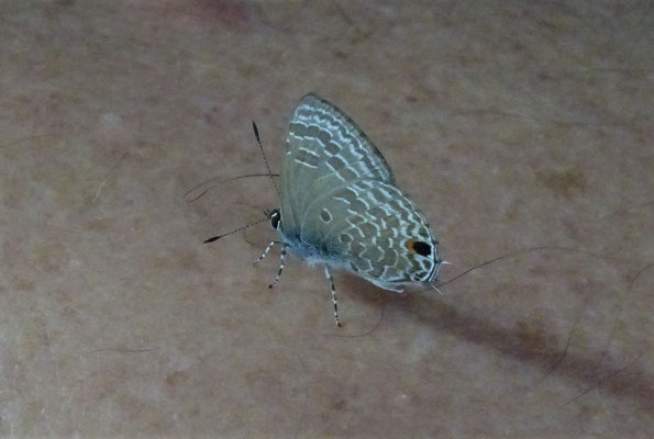 Ein Schmetterling landete auf Ugo's Rücken.