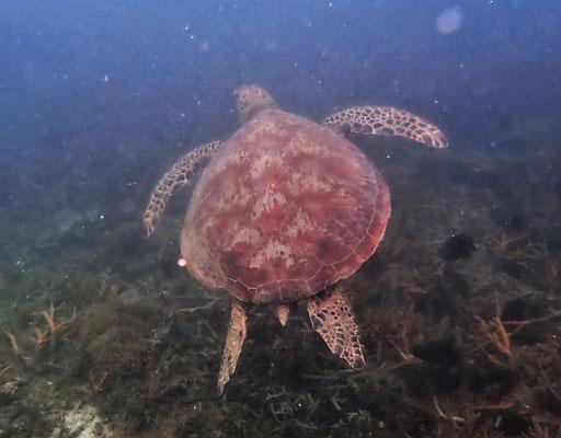 ......Meeresschildkröte.