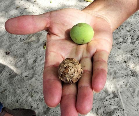 ....getrockneten Früchte Öl gewonnen.