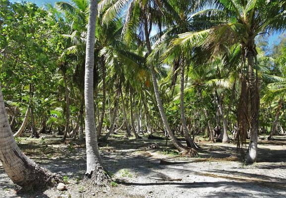 Hier werden die Kokospalmen....