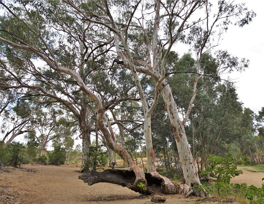 ......den Eukalypthus Bäumen.