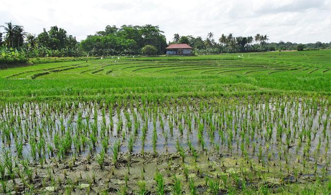 Schöne Reisfelder im Hinterland.