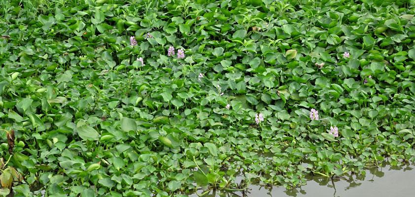 Wasserhyazinten kultiviert. Der Stengel wird als Gemüse gegessen.