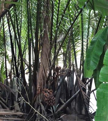 Palme mit Frucht.