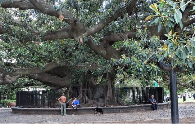 Dieser gewaltige Ficus......