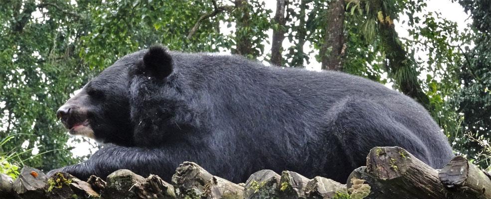 ...mit Schwarzbären...