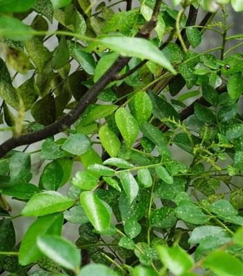 ...Blätter für feine Currys verwendet.