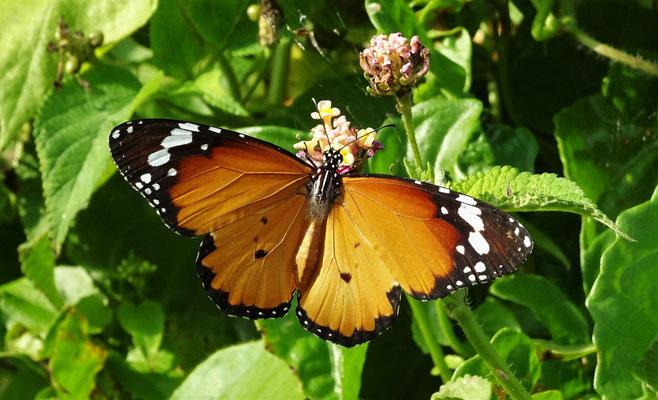 Viele bunte Schmetterlinge