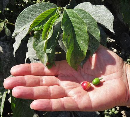 Ebenfalls am Strassenrand gibt es Kaffeepflanzen