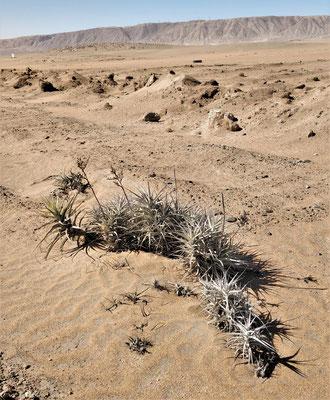 Die einzige wilde Wüstenpflanze.....