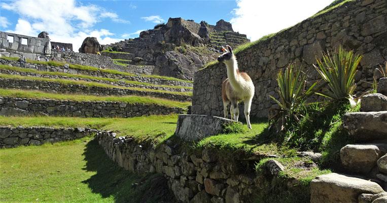 Heute werden die Lamas......