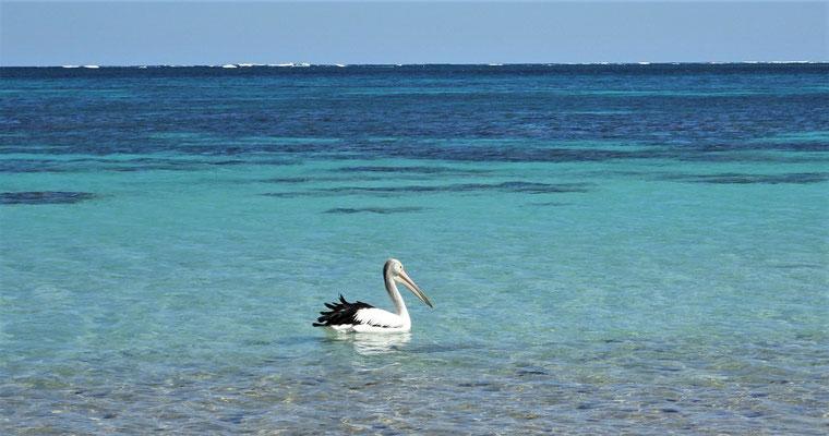 Ein einzelner Pelikan.....