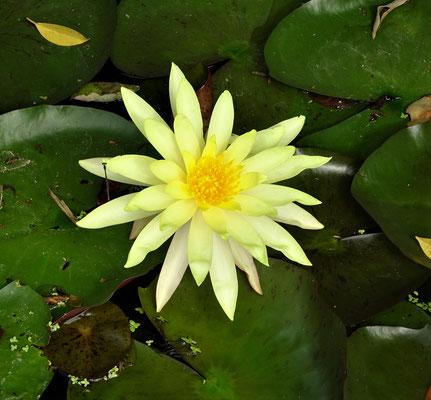 Eine Seerose im Teich.....