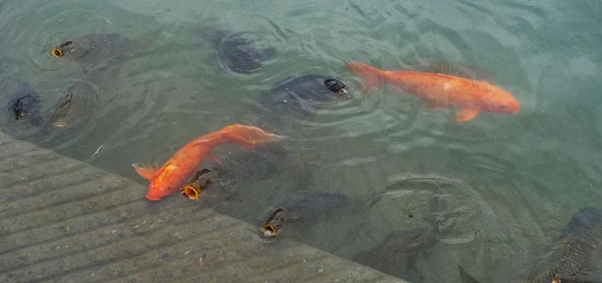 ...und die Fische nach Futter schnappen.