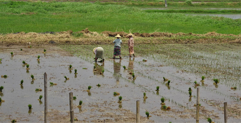 Hier wird Reis gepflanzt.