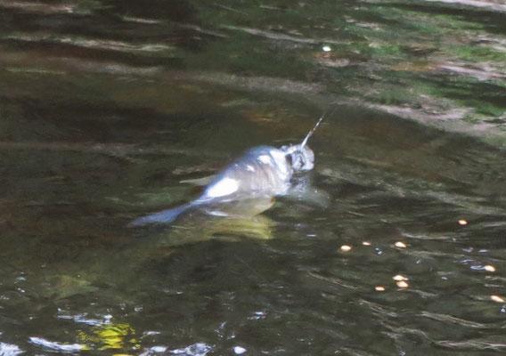 Hungrige Fische die...