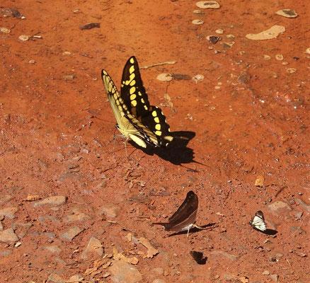 Der Androgeo Schmetterling.