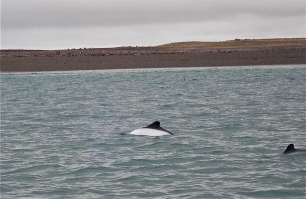 Der kleine Chile Delfin....